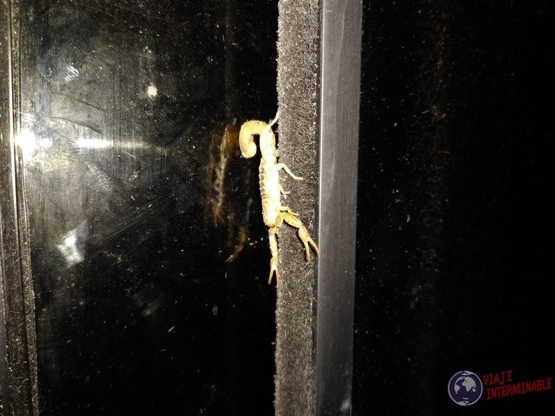 Escorpión en Pimentel