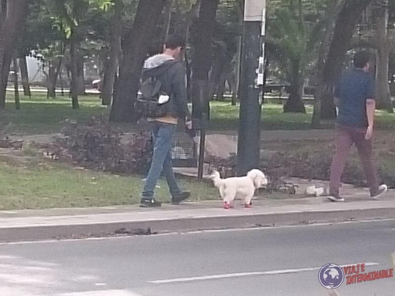Perros con zapatos en Lima