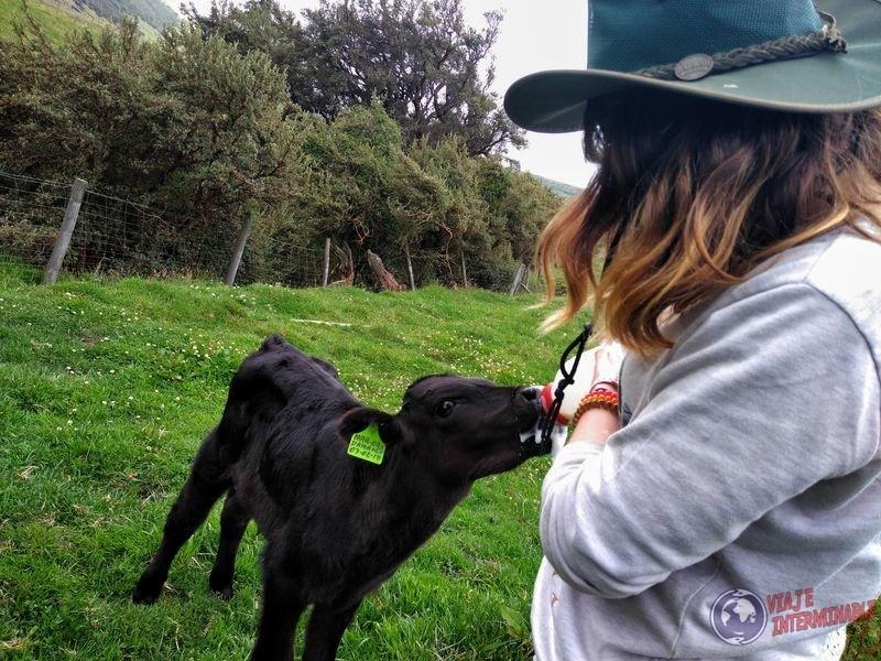 Dando leche a ternerito granja organica Pifo Ecuador