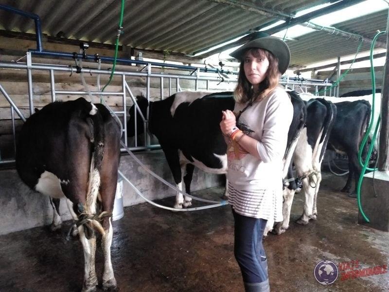 Entre las vacas granja organica Pifo Ecuador