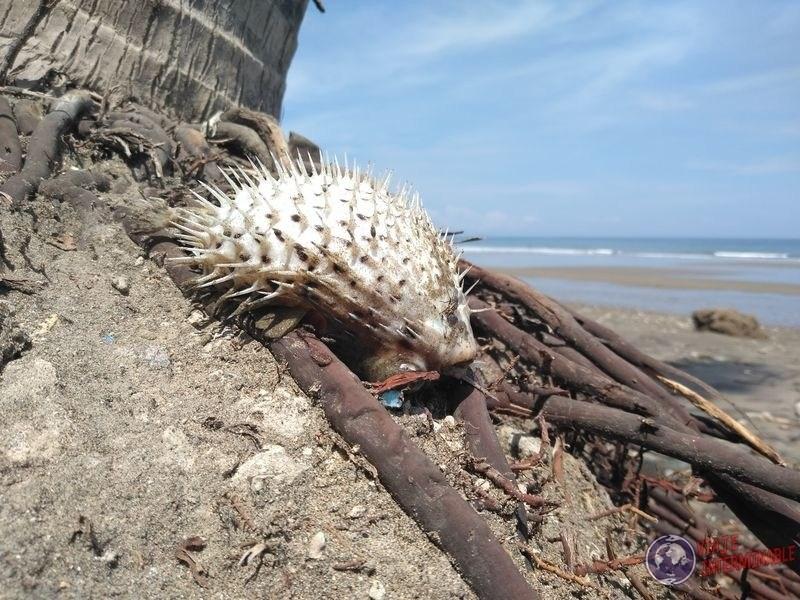 Pez globo en playa Manta