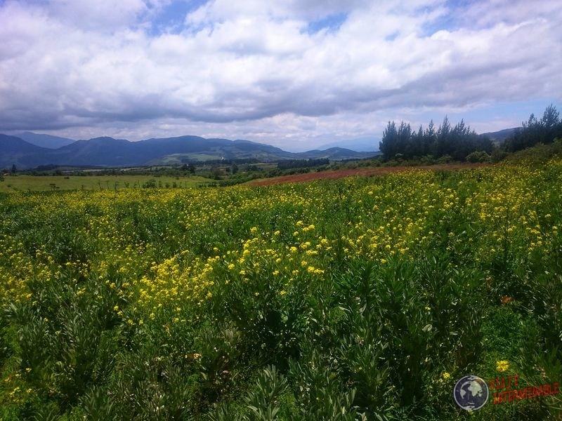 Plantitas amarillas cerca Laguna cuicocha Ecuador