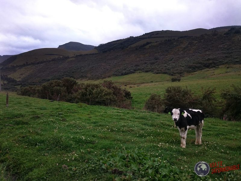 Vaca en granja organica Pifo Ecuador