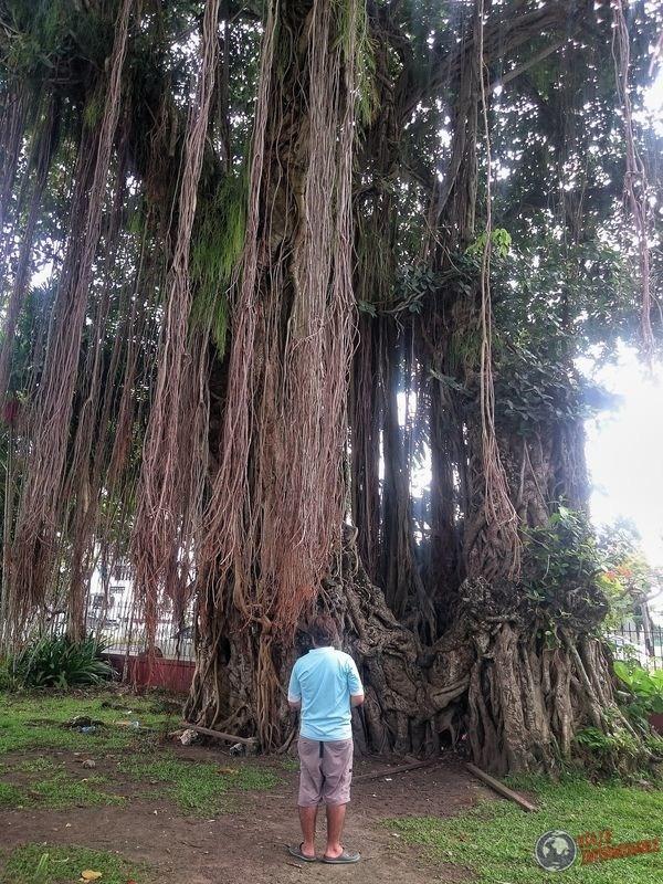Arbol gigante en Promenade Gardens Georgetown Guyana