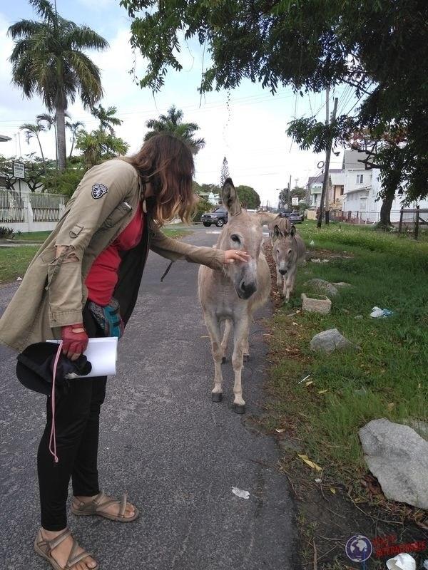 Burros en la calle Georgetown Guyana