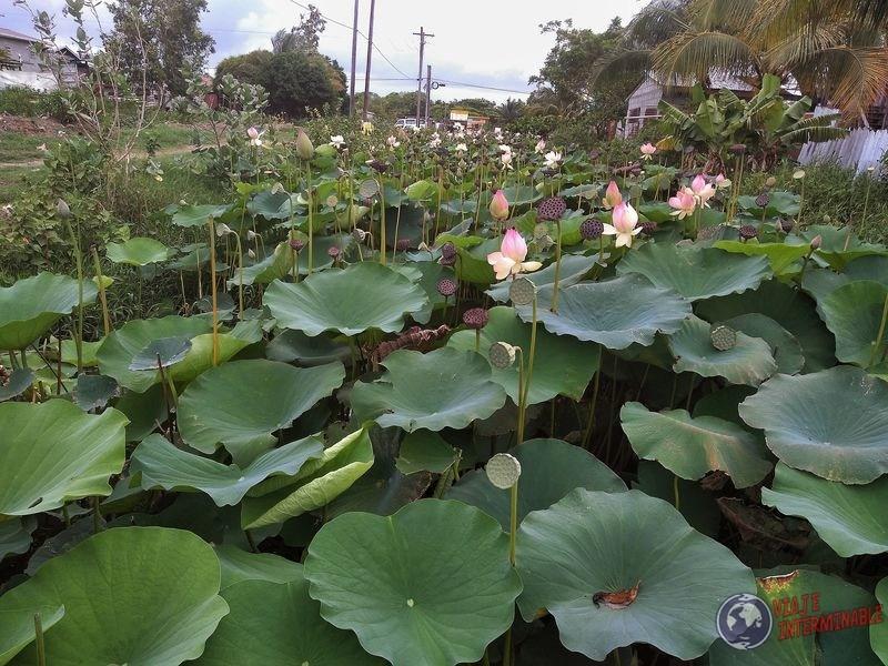Flores de loto victoria amazonica Georgetown Guyana