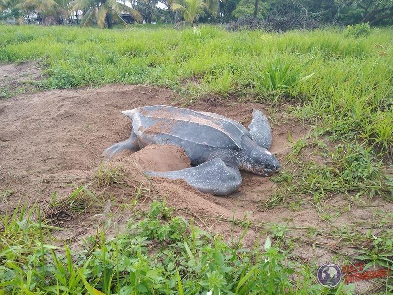 Tortuga laud gigante Guayana Francesa Yalimapo