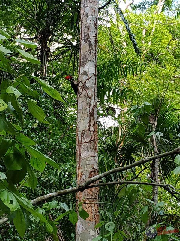 Pajaro Carpintero Tikal