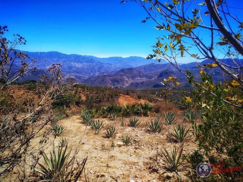 Plantas de Mezcal agave maguey camino a Hierve el Agua Mexico