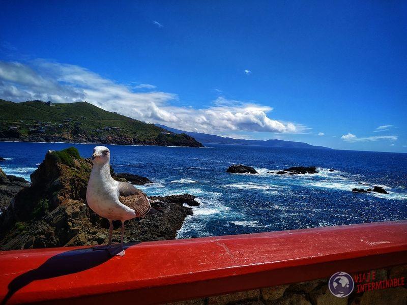 Gaviota de frente Bufadora Ensenada Baja California