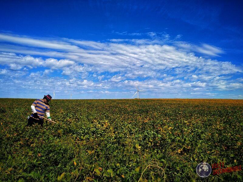 En el campo de soja Minnesota EEUU